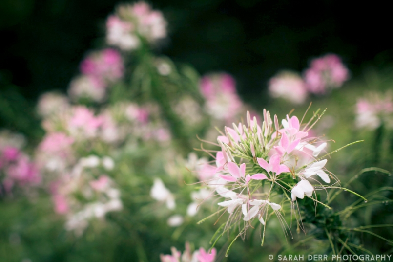 2012 photo of Cleome in a friend's garden
