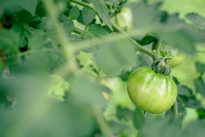 Tomato for WP